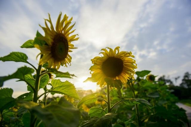 Vẻ đẹp rực rỡ của hoa hướng dương dưới nắng chiều.