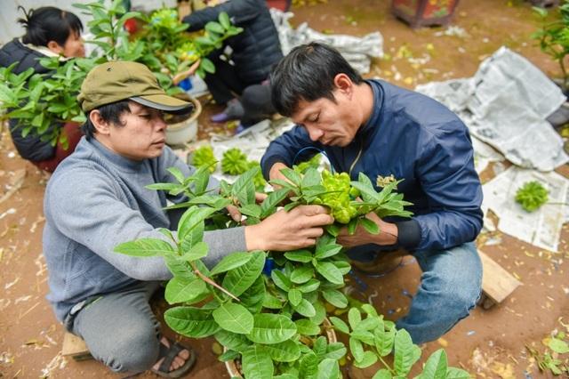 Anh Nguyễn Phú Dũng, chủ một vườn cây phật thủ tại xã Đắc Sở cho biết, những cây phật thủ được giâm chiết 1 năm tuổi đã có thể cho quả và ghép quả. Những cây to có thể ghép khoảng 35 - 40 quả trở lên, cây loại nhỏ có thể ghép từ 9 quả trở xuống.