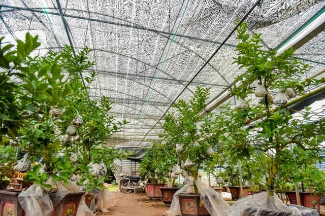 Trong khi đó, những cây phật thủ cỡ đại, được ghép vài chục quả trở lên thì có giá bán từ 5 - 20 triệu đồng/cây.