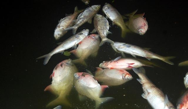 Cá chết có nhiều loại, thậm chí có cả loại cá khỏe mạnh như cá chim.