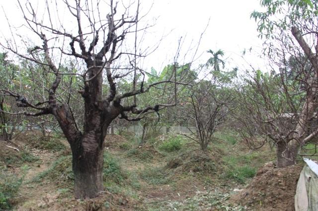Sau một năm dày công chăm sóc, có nhiều gốc đào có tuổi thọ gần chục năm bất ngờ bị chết, khiến nhiều hộ gia đình rơi vào cảnh trắng tay