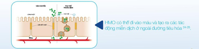 HMO giúp tăng cường hệ miễn dịch tự nhiên ngăn các vi sinh vật gây bệnh bám vào tế bào ruột