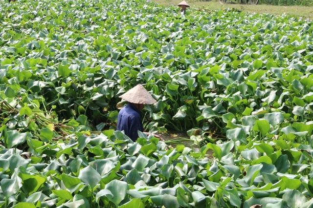 Những năm gần đây, nghề thủ công mỹ nghệ đan lát ở huyện Kim Sơn (Ninh Bình) phát triển. Để tận dụng nguồn nguyên liệu, ngoài cói, rơm rạ, người dân nơi đây còn sử dụng thân cây bèo tây về phơi khô đan thành các sản phẩm thủ công.
