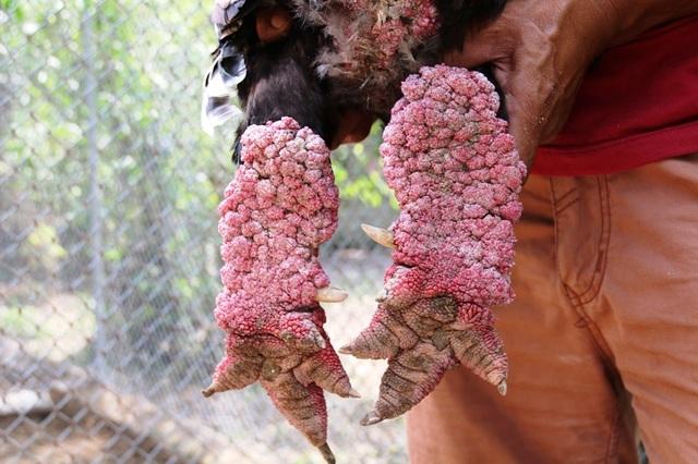Con gà Đông Tảo có đôi chân khủng được trả trên 30 triệu nhưng anh Miền chưa bán.