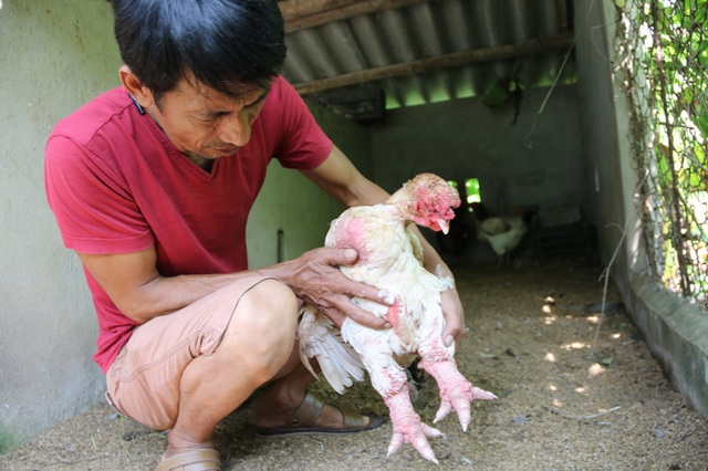 Anh Miền cho biết, con gà Đông Tảo mái này có giá trên chục triệu đồng.