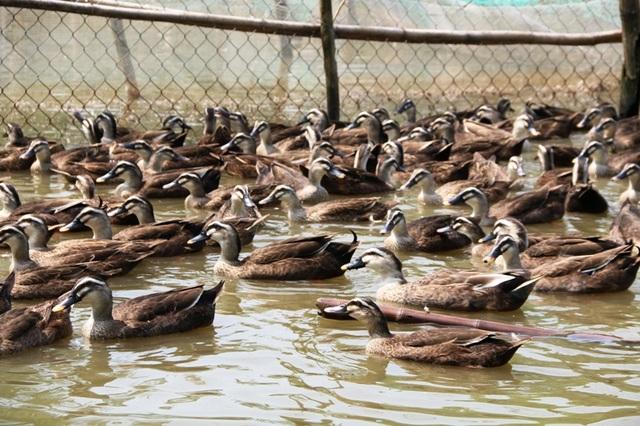 Hàng nghìn con vịt trời đang được nuôi tại trang trại của anh Miền, mỗi năm cho thu nhập hàng trăm triệu đồng.