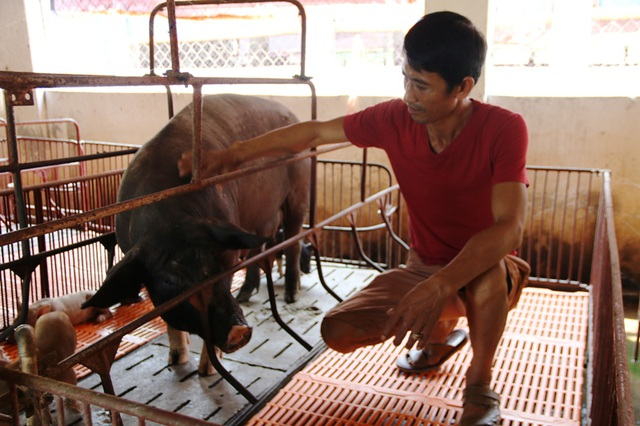 Ngoài nuôi vịt trời, gà Đông Tảo, gà rừng... trang trại của anh Miền còn có hàng chục giống lợn đặc sản khác nhau.