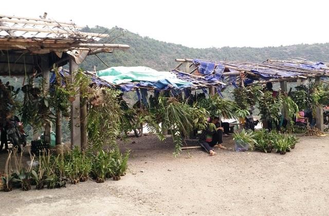 Hoa phong lan được treo bán ở khắp các lán trại tạm