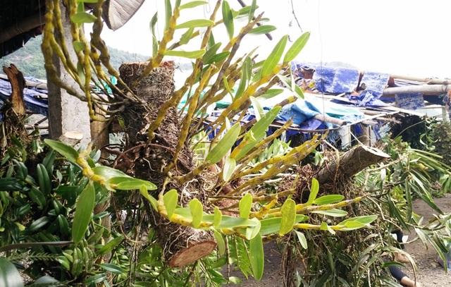Một nhánh lan rừng bám chặt rễ vào thân cây gỗ được chủ hàng hét giá trên 1 triệu đồng.