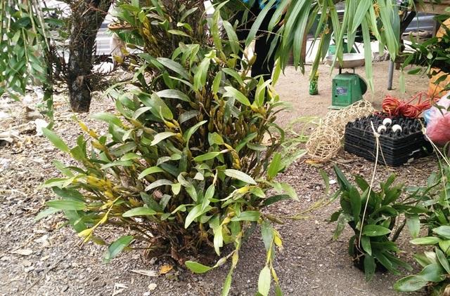 Hoa phong lan bán chủ yếu ở chợ được người dân khai thác trong rừng về nên đa dạng về chủng loại và số lượng.