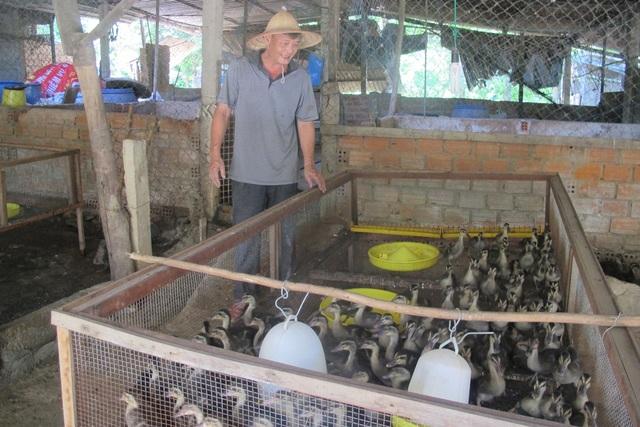 Để có vịt bán thường xuyên, trang trại của ông Thái lúc nào cũng có 4 lứa vịt