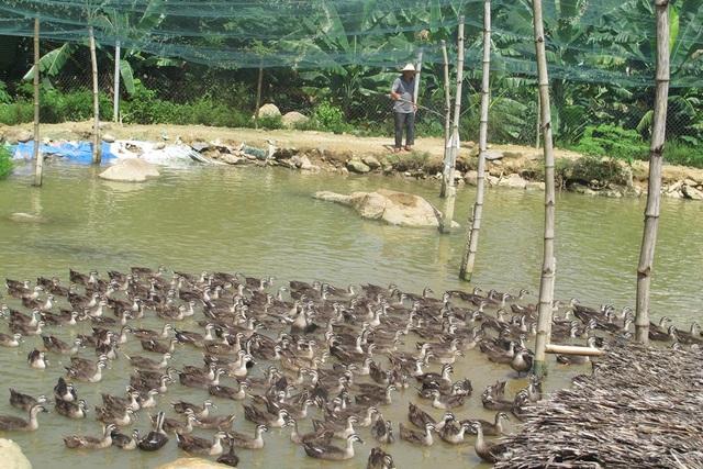 Nhờ nuôi vịt trời, mỗi tháng ông Thái bỏ túi 20 triệu đồng tiền lãi