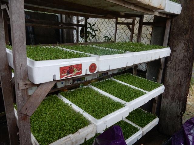 Chỉ với diện tích 30m2 để trồng rau mầm, mỗi ngày, anh Phương thu lãi từ 600 - 700 ngàn đồng từ rau