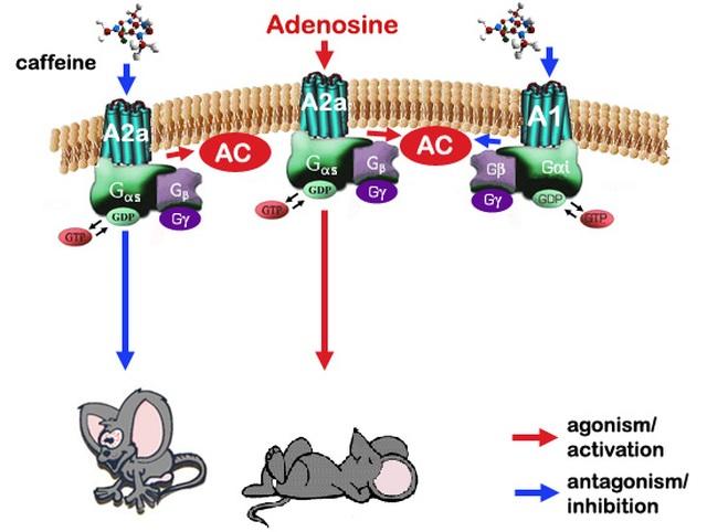 Vì cấu trúc tương đồng, caffeine ức chế cạnh tranh với adenosine