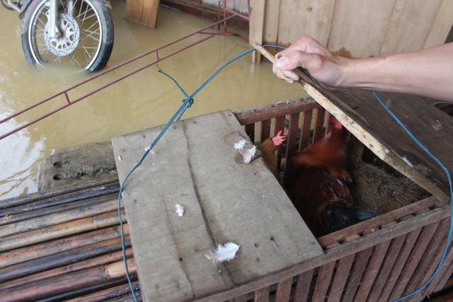 Hơn 100 con gà của nhà anh Đồng chỉ vớt vát được 4 con trong đêm. Số còn lại phó mặc cho hà bá