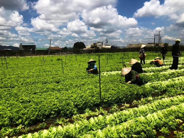 Một trong số các trang trại rau MM Mega Market hợp tác tại Lâm Đồng