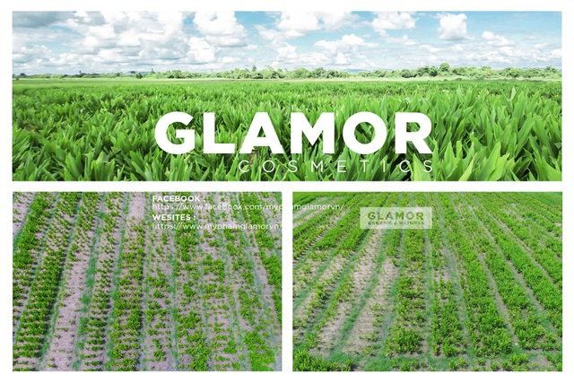 Cánh đồng nghệ Glamor rộng hơn 100 ha