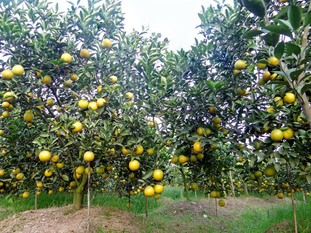 Hưng Yên là một trong những vựa cam lớn nhất của miền Bắc