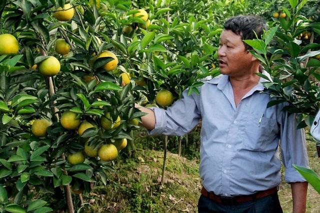Cam được các hộ trồng trọt chăm sóc kỹ lưỡng theo tiêu chuẩn VietGap