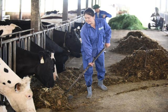 Trang trại chăn nuôi bò sữa Mộc Châu đạt tiêu chuẩn VietGAP