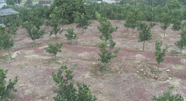 1.000 gốc cam của trang trại nhà ông Thành được dự án LCASP hỗ trợ mô hình tưới tiết kiệm