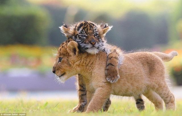 Cặp đôi sư tử và hổ đáng yêu này mới được sinh ra tại vườn thú African Safari ở tỉnh Oita, Nhật Bản, vào hồi đầu năm nay.
