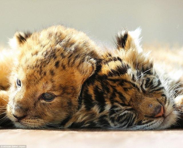 Theo lời chia sẻ của nhân viên trong vườn thú, khi còn nhỏ, chú sư tử nhìn có vẻ giống một con báo hơn.