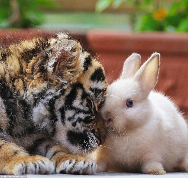 """Đặc biệt, bản năng săn mồi của """"chúa sơn lâm"""" vẫn chưa trỗi dậy nên nó vẫn đùa vui bên một con thỏ."""