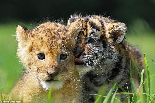 Nhân viên vườn thú cũng cho biết, những con vật này hiện đang lớn rất nhanh.