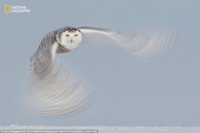 Cú trắng ở Alberta, Canada, là một trong số những loài chim yêu thích của nhiếp ảnh gia Aaron Baggenstos.