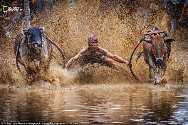 Hình ảnh một thí sinh giữ thăng bằng trong cuộc đua bò Pacu Jawi ở Indonesia. Tác phẩm của Yh Lee.