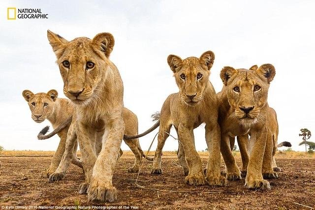 Nhiếp ảnh gia chuyên chụp hình động vật hoang dã người Australia Kym Illman dành khoảng 3 tháng mỗi năm ở Châu Phi để ghi hình. Anh sử dụng loại camera điều khiển từ xa để ghi lại hình ảnh chân thực của động vật.