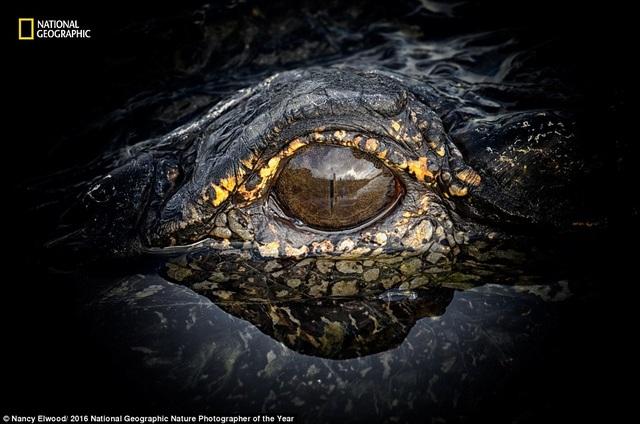 Nhiếp ảnh gia Nancy Elwood mạo hiểm chụp cận cảnh đôi mắt của con cá sấu hung dữ ở Florida, Mỹ.