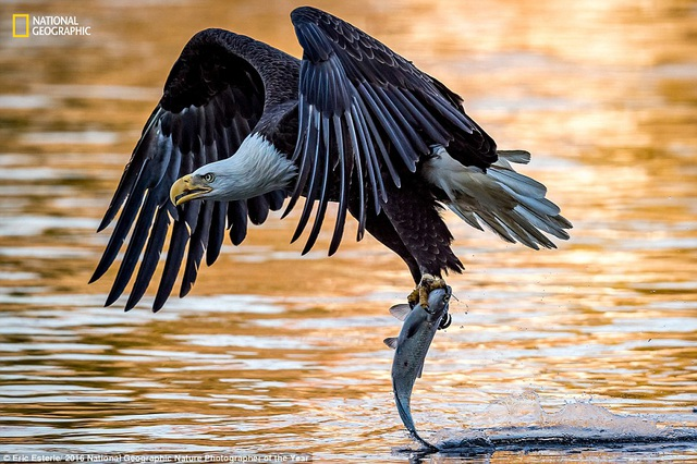 Hình ảnh chân thực về con đại bàng trưởng thành cắp con cá khỏi mặt nước. Ảnh chụp tại sông Susquehanna trên bờ biển phía đông nước Mỹ do nhiếp ảnh gia Eric Esterle ghi lại.