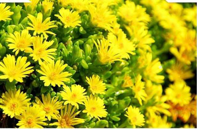 """Những loài hoa """"gọi"""" mùa thu về - 3"""