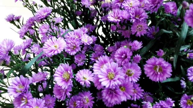 """Những loài hoa """"gọi"""" mùa thu về - 7"""