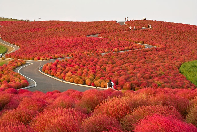 Công viên nhuộm màu đỏ ối vào mùa thu. Từ màu xanh mướt, các bụi cây Kochia đồng loạt chuyển màu