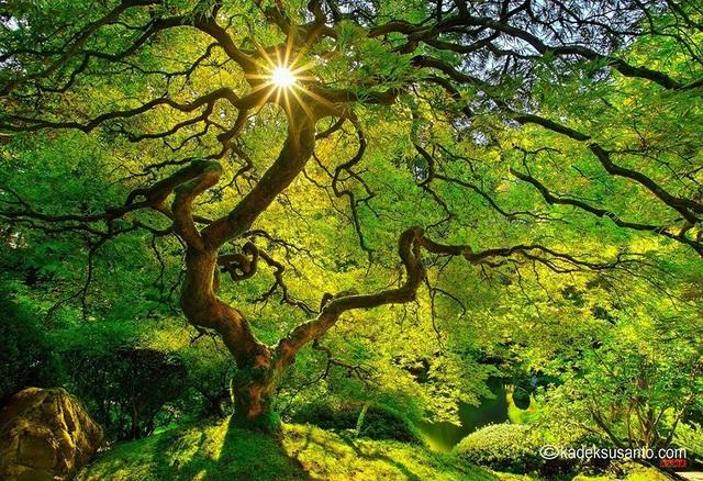Cây phong ở Nhật Bản xanh mướt màu lá và căng tràn nhựa sống vào dịp hè.