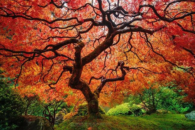 Đây cũng là một trong những loài cây báo hiệu thu sang. Khi màu lá chuyển sang sắc đỏ ối cũng là lúc đất trời có sự chuyển mùa.
