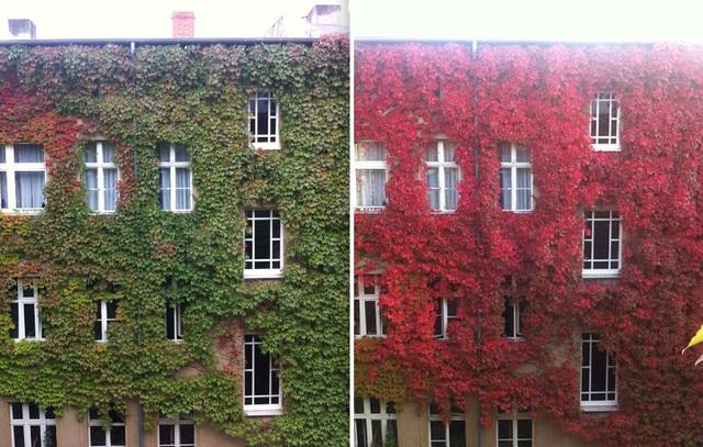 Hàng dây leo phủ bên ngoài một căn hộ cũng nhuộm sắc đỏ khi thu về.
