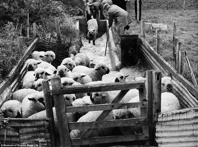 Đàn cừu ở trang trại. Ảnh chụp năm 1960 của tác giả John Tarlton. Ông là một trong những nhiếp ảnh gia chụp hình về nông thôn xuất sắc nhất nước Anh.
