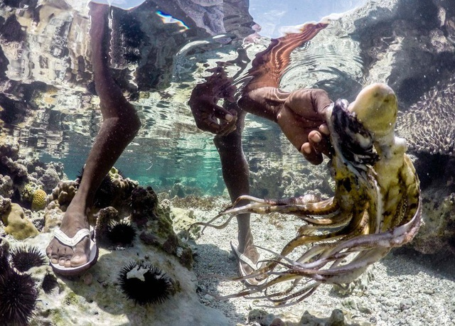 Bạch tuộc thường ẩn nấp trong các mỏm đá hay san hô khi thủy triều xuống