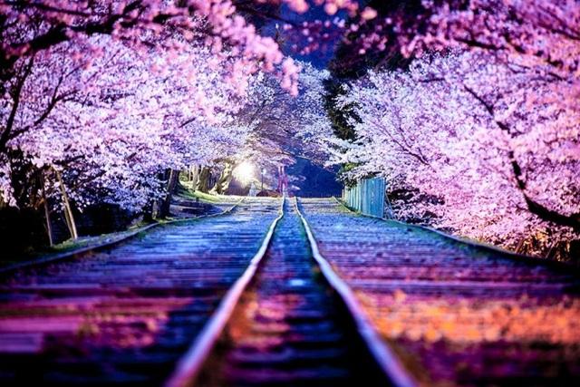 Con đường mơ với thảm hoa anh đào nối tiếp đan xen lẫn nhau.