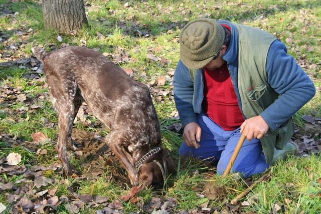 Do nằm dưới đất nên người ta phải nhờ sự hỗ trợ của chó chuyên nghiệp hay lợn đánh hơi