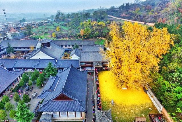Cây ngân hạnh nghìn năm tuổi ở Tây An, Trung Quốc
