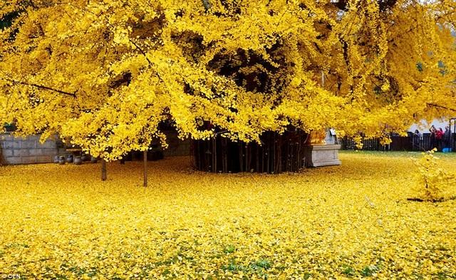 Thảm vàng dưới gốc cây