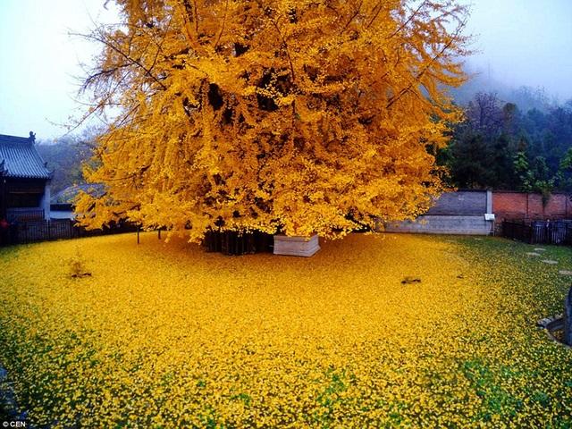 Cây ngân hạnh được trồng ở chùa từ đời nhà Đường giai đoạn năm 618 – 907 và vẫn tồn tại đến ngày nay
