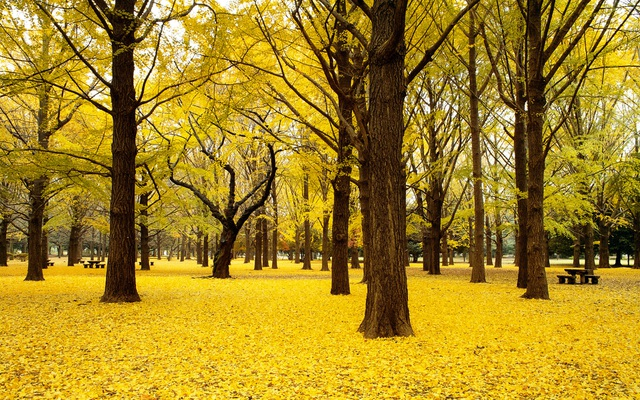 Hàng cây nhuộm vàng công viên Yoyogi, Shibuya-ku, Tokyo
