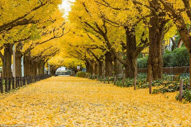"""Mùa thu """"phủ vàng"""" trên những hàng ngân hạnh đẹp nhất thế giới - 3"""