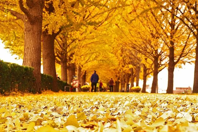 Lá cây rụng đầy trên đường Asan